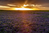 Field of Purple Flowers at Sunset — Stock Photo
