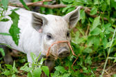 Baby Mangalitsa Piglets on Organic Farm — Stock Photo