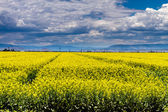 Yellow Canola Rapeseed Fields in Bloom — Stock Photo