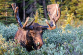 Large Bull Moose in Summer Velvet — Stock Photo