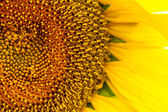 поле подсолнечника в цвету — Стоковое фото