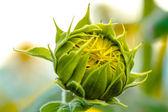 Sunflower field in bloom — Stock Photo
