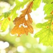 Yellow oak leaves blowing the wind — Vidéo