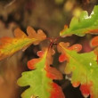 Yellow oak leaves blowing the wind — Vídeo de stock