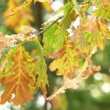 Yellow oak leaves blowing the wind — Stock Video