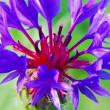 Cornflower macro — Stock Video
