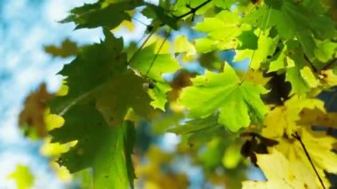 Maple Leaves — Stock Video