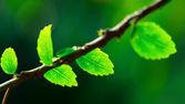 Hojas de jardín — Foto de Stock