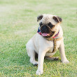 Pug Dog — Stock Photo #39604655
