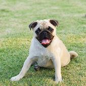 Pug Dog — Stock Photo