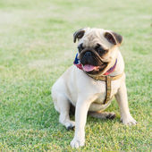 Pug Dog — Stockfoto