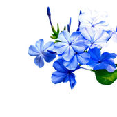 Blue Flowers in the garden isolated on white background — Stock Photo