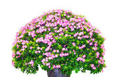 The big giant azalea — Stock Photo