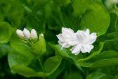 Wunderschöne jasminblüte mit blätter美しいジャスミンの花と葉します。 — Stockfoto