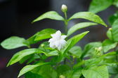 Beautiful Jasmine flower with leaves — Stock Photo