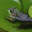Frog on Lily Pad — Stock Photo #33675241