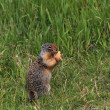 Canadian Ground Squirrel — Foto de Stock