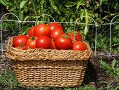 Tomato Harvest — Stock Photo