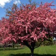 Stock Photo: Crabapple Tree