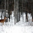 Deer In The Woods — Stock Photo