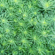 Cypress spurge (Euphorbia cyparissias) — Stock Photo