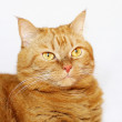 Red striped cat — Stock Photo