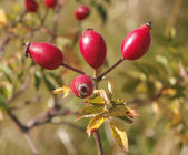 Rosehip fruit — Stock Photo