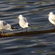 Stockvideo: Gulls on rope on Vltava