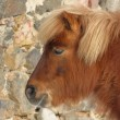 Stock Photo: Head of brown pony