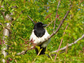 Magpie on tree branch — ストック写真