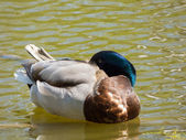 Sleeping duck on pond — Stock Photo