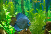Piranha — ストック写真