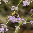 Bumble bee foraging for pollen or nectar — Stock Photo