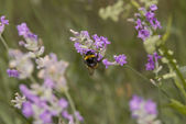 Bumble bee looking for pollen or nectar — Stock Photo
