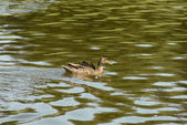 Female wild mallard duck swims — Stock Photo