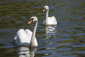Dos cisnes en río o lago — Foto de Stock