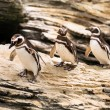 Three magellanic penguins — Stock Photo