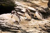 Tří tučňáků magellanských — Stock fotografie