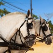 Horses of a carriage in Seville, Spain. — Stock Photo
