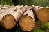 Row of felled trees — Stock Photo