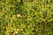 Acer Palmatumm Leaves Background — Stock Photo