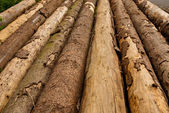 Row of Tree Trunks — Stock Photo