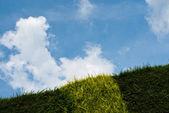 Leylandii Hedge Running up — Stock Photo