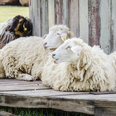 Sheep in the farm — Stock Photo