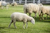 Sheep in green meadow — Stock Photo
