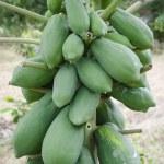 Papaya tree — Stock Photo