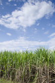 Sugarcane with the blue sky — Stock Photo