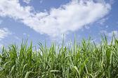 Caña de azúcar con el cielo azul — Foto de Stock