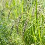 Black jasmine rice field — Stock Photo