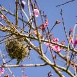 Bird's nest on cherry tree — Stock Photo